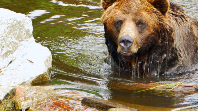 Swimming Grizzly Bear Wildlife Close Up, Lake Swim to Shore, Animal in Nature