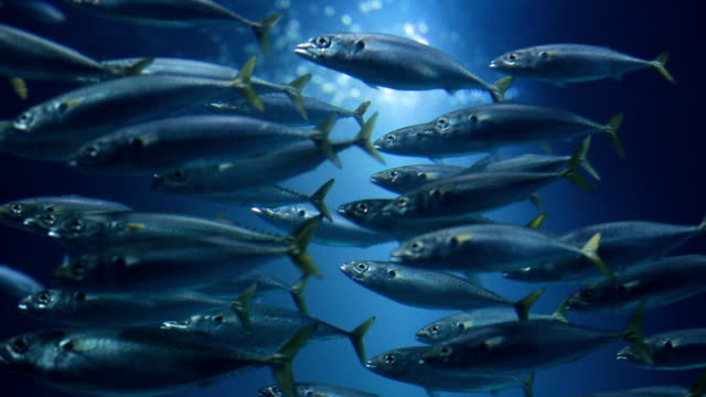 Swimming in one direction School of fish swimming in water together. sea life stock videos & royalty-free footage