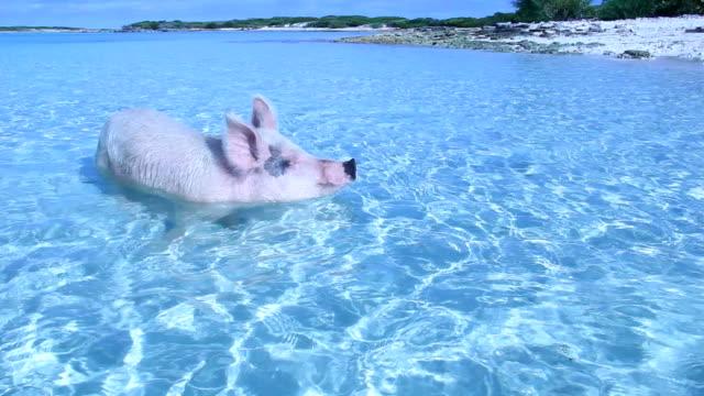schwimmen-schweine von exuma - schwein stock-videos und b-roll-filmmaterial