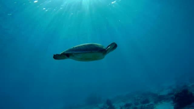 vidéos et rushes de tortue de mer la mer des caraïbes de natation sous l'eau - tortue
