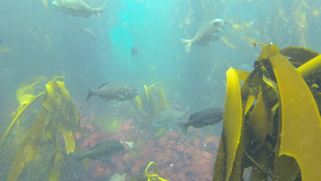 Swimming underwater through a kelp forest in Hout Bay, Cape Town video