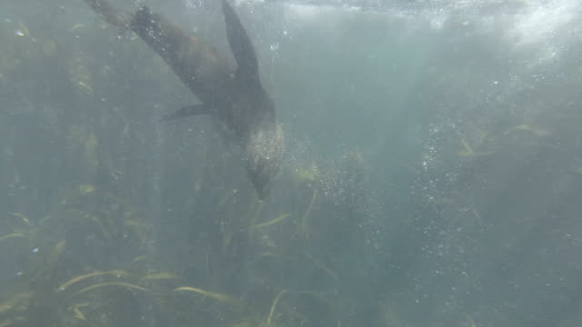 Swimming with Cape Fur Seals in Hout Bay, Cape Town Swimming with Cape Fur Seals in Hout Bay, Cape Town, South Africa. Daytime, shot with GoPro cape peninsula stock videos & royalty-free footage