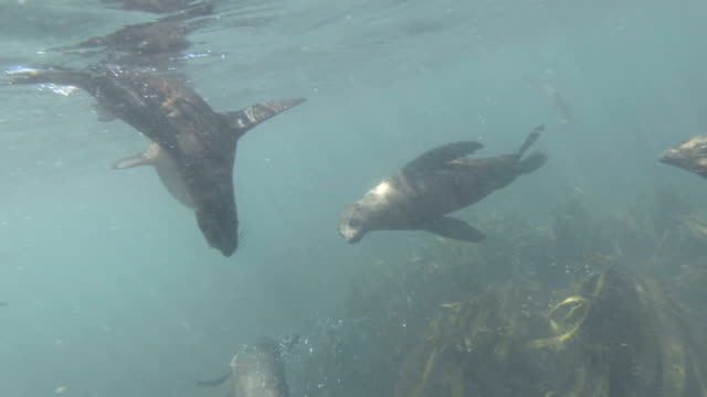 Swimming with Cape Fur Seals in Hout Bay, Cape Town Swimming with Cape Fur Seals in Hout Bay, Cape Town, South Africa. Daytime. One seal jumps off rock into water. Shot with GoPro cape peninsula stock videos & royalty-free footage