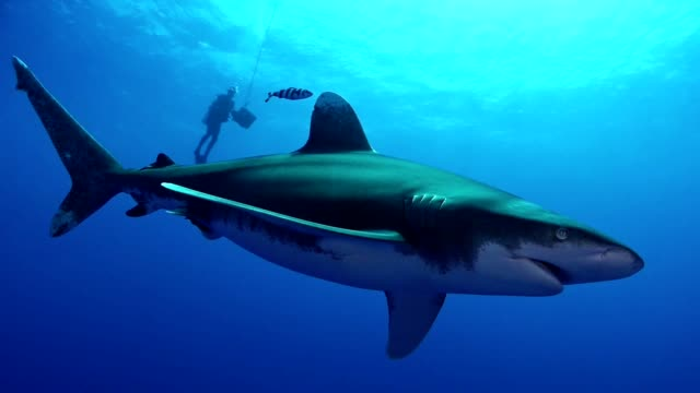 Swimming with great white sharks. Underwater scenery