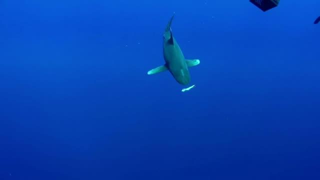 swimming with great white sharks. underwater scenery - молодое животное стоковые видео и кадры b-roll