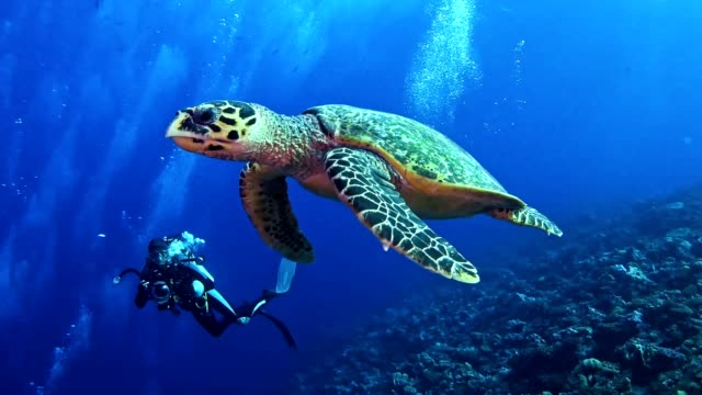 Swimming with Hawksbill Sea Turtle. Underwater scenery Large turtle swimming close to a camera. Diving turtle stock videos & royalty-free footage