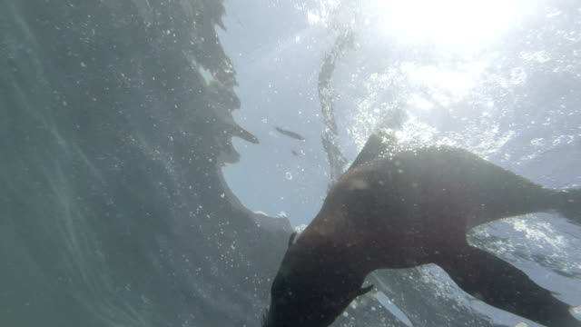 Swimming with playful Cape Fur Seal in Hout Bay, Cape Town video