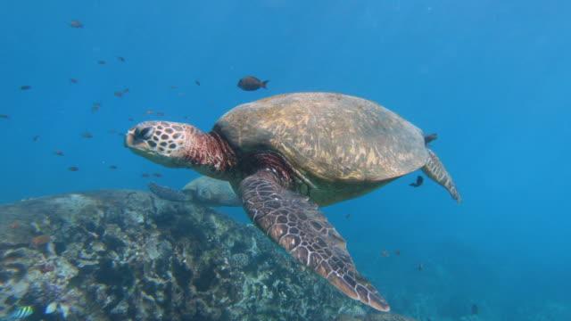 Swimming with Turtles Swimming with Turtles in Hawaii sea life stock videos & royalty-free footage