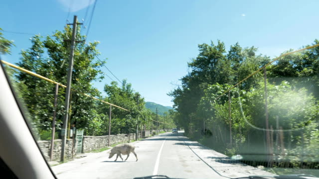 Swine slowly walks in front of the car on the road, Georgia video