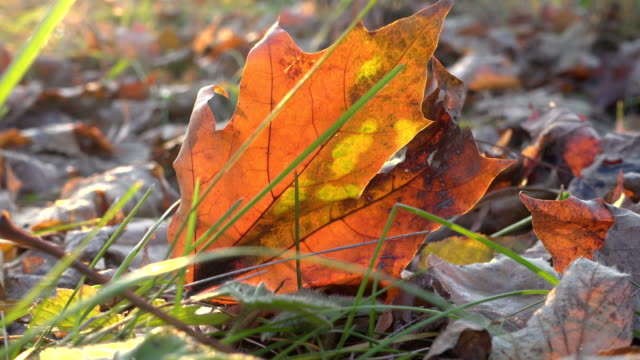 swinging yellow mapple leaf on the ground video