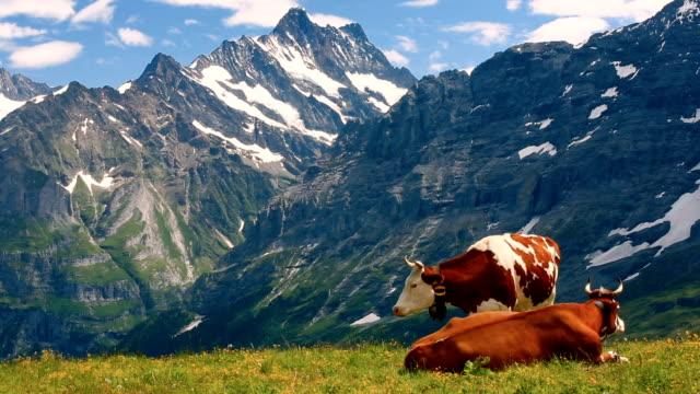 vídeos de stock e filmes b-roll de swiss alps with cows - suíça
