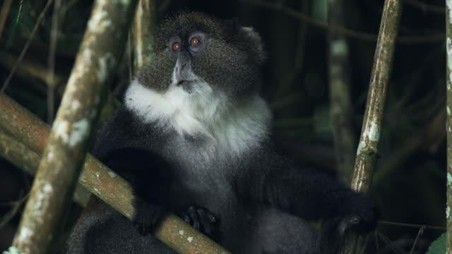 Sykes Monkey Hiding Behind The Bamboos Eating Leaves In Kenya Aberdare National Park - Closeup Shot Sykes Monkey Hiding Behind The Bamboos Eating Leaves In Kenya Aberdare National Park - Closeup Shot blue monkey stock videos & royalty-free footage