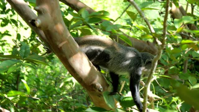 syke affe (grüne mitis ssp. albogularis) im jozani forest auf insel sansibar - endemisch stock-videos und b-roll-filmmaterial