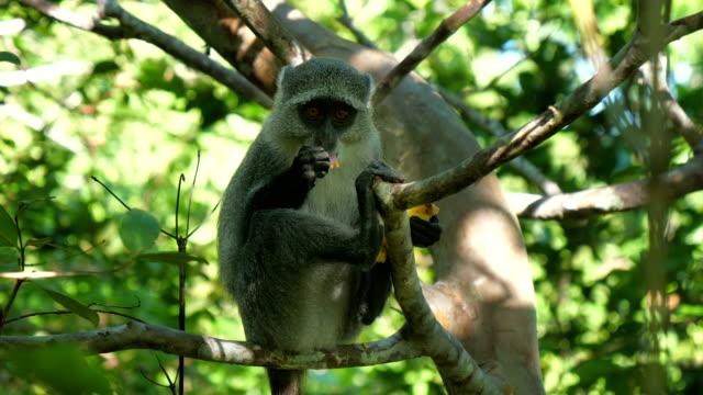 Syke's monkey (Cercopithecus mitis ssp. albogularis) in Jozani Forest on island of Zanzibar Syke's monkey (Cercopithecus mitis ssp. albogularis) in Jozani Forest on island of Zanzibar, Tanzania, Africa. Close up of feeding on leaves and fruits. blue monkey stock videos & royalty-free footage