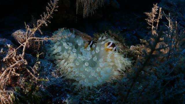 vídeos y material grabado en eventos de stock de relación simbiótica, el pez payaso y anémona de mar - palaos
