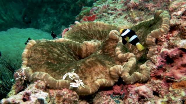 Symbiotische Beziehungen auf lebendigen Unterwasser Korallenriff Meer Anemone mit Clown Fisch und Anemone Krabbe – Video