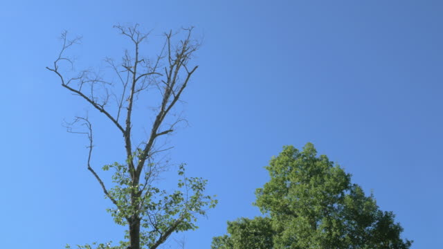 Symbolizing of Life and Death with Dead and Green Trees on blue sky background