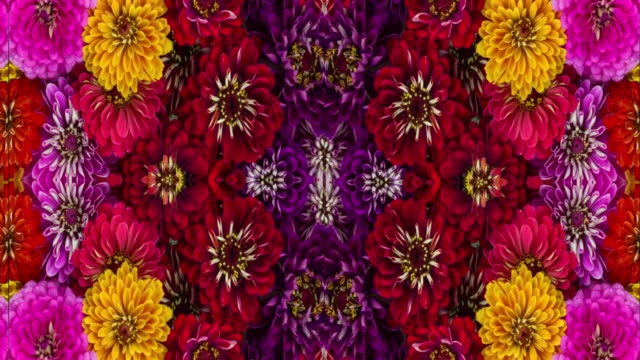 Symmetric Loop Ready Floral Pattern Vibrant Color Blooming Zinnia Flowers Floral Pattern floral pattern stock videos & royalty-free footage