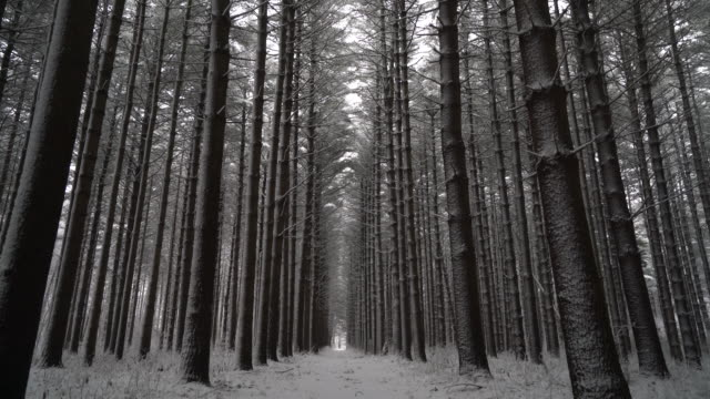 Symmetrical long line of pine trees covered in fresh snow video
