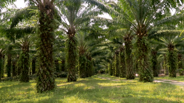 vídeos de stock e filmes b-roll de symmetrical rows of palm trees used in the manufacturing of palm oil in 4k - oleo palma