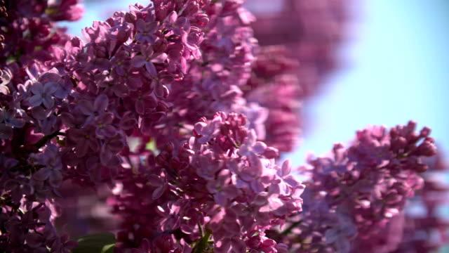 Syringa. Spring purple flowers. Lilac bokeh. video