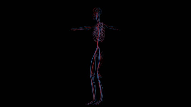 system av vener och artärer i mänskliga cirkulationssystemet i rotation - människoblod bildbanksvideor och videomaterial från bakom kulisserna