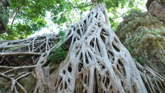 Ta Prohm Temple, Cambodia video