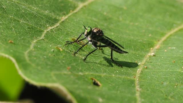 Tabanidae on leaf