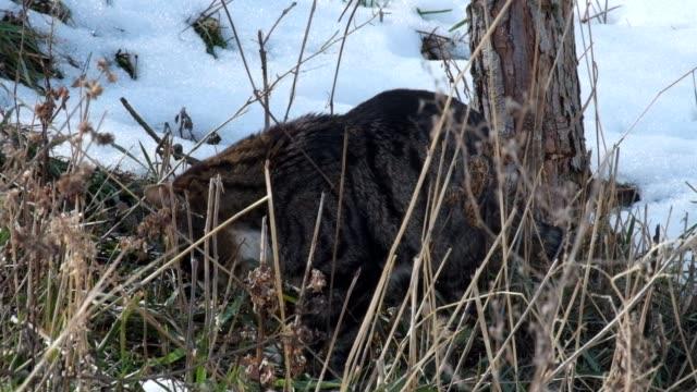 Tabby cat eating green grass video