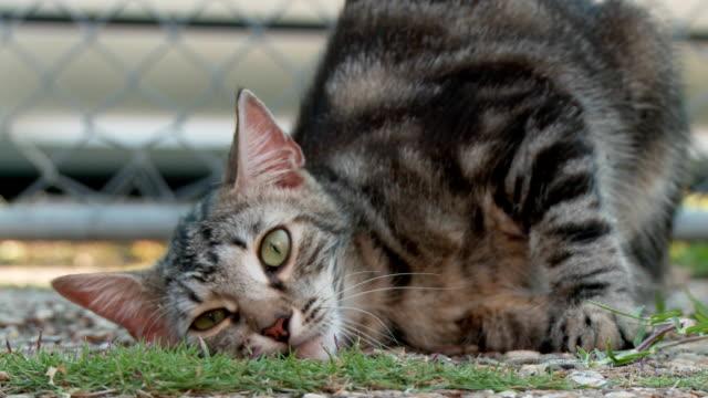полосатая кошка кошка умопомрачение над catnip - кошка смешанной породы стоковые видео и кадры b-roll
