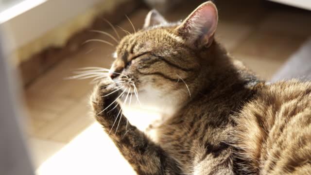 tabby cat licking paw - уход за поверхностью тела у животных стоковые видео и кадры b-roll