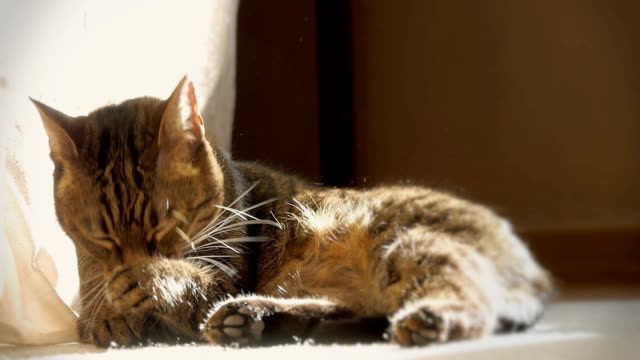 полосатая кошка кошка лизать лапа - уход за поверхностью тела у животных стоковые видео и кадры b-roll