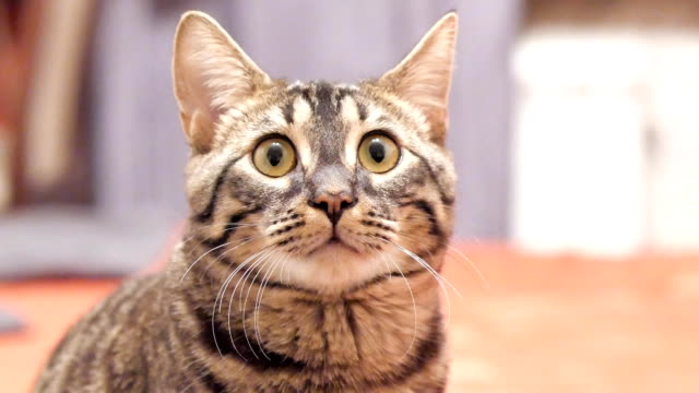 tabby cat looks into the camera and moves his ears. - curiosità video stock e b–roll