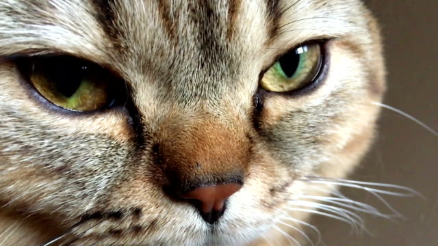 Tabby cat lying down and looking at the camera Tabby cat lying down and looking at the camera HD tabby cat stock videos & royalty-free footage