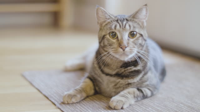 tabby cat staring directly into camera shallow depth of field - gatto soriano video stock e b–roll