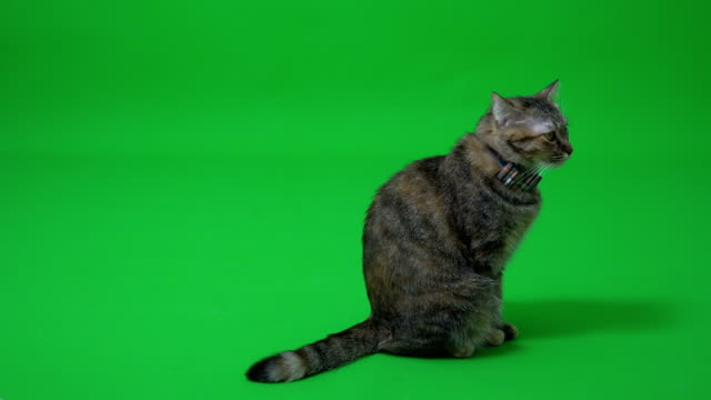 tabby cat - gatto soriano video stock e b–roll