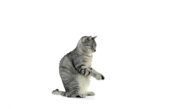 pręgowany kot szary kot proszalny dla żywności i przetaczanie - łapa filmów i materiałów b-roll