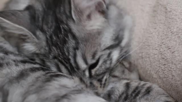 vídeos y material grabado en eventos de stock de tabby gato gris acostado en un sofá - vibrisas
