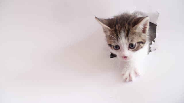 Tabby kitten with white paws on a white background video