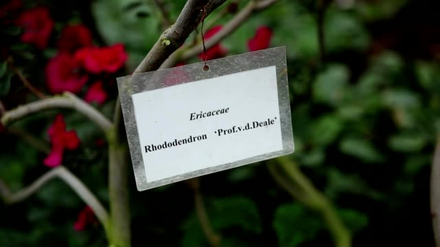 table with name of azaleas on thin branches on background of few red flowers - pistillo video stock e b–roll