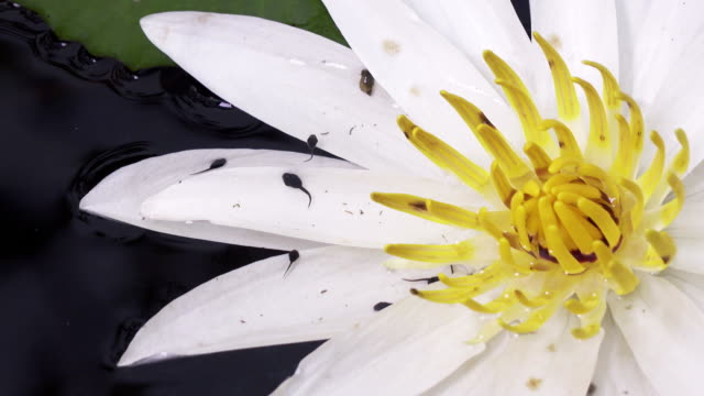 Tadpole the larva of a tailless amphibian and a flower of white Lotus have revealed in a reservoir video