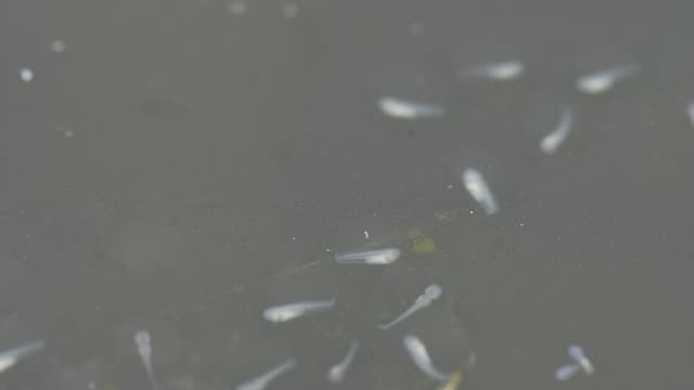 Tadpoles In A Ponde rain forest. video