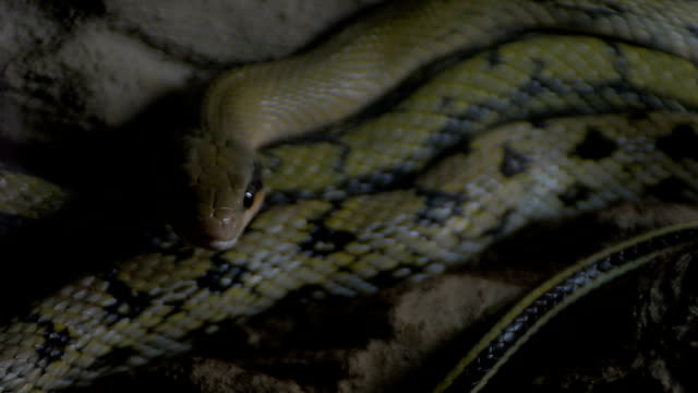 Taiwan Striped-tailed Rat Snake Orthriophis taeniurus