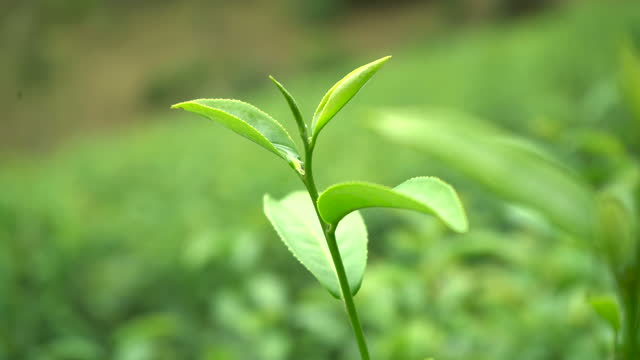 Take a close-up shot of green tea leaves. video