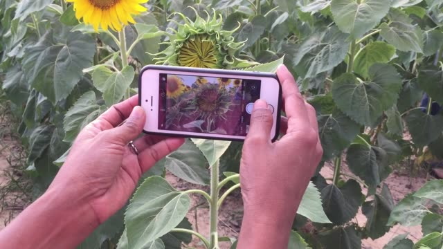Take a photo sunflower by smart phone