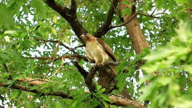 Take off flight of red-tailed hawk in tree video