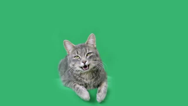 vídeos y material grabado en eventos de stock de hablando de gato - gato doméstico