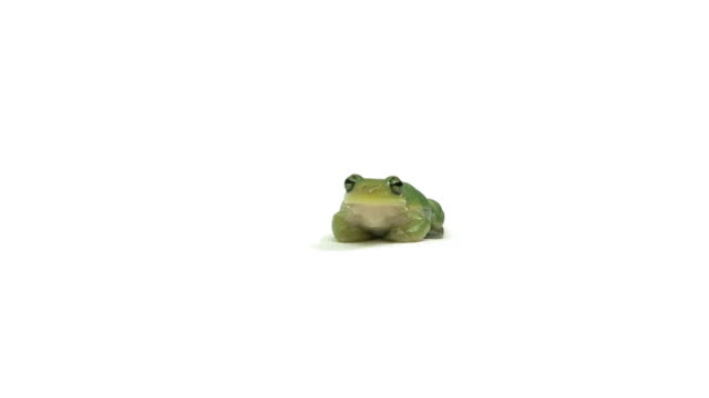 Talking Green Tree Frog A portrait of a green tree frog sitting in place and breathing. frog stock videos & royalty-free footage