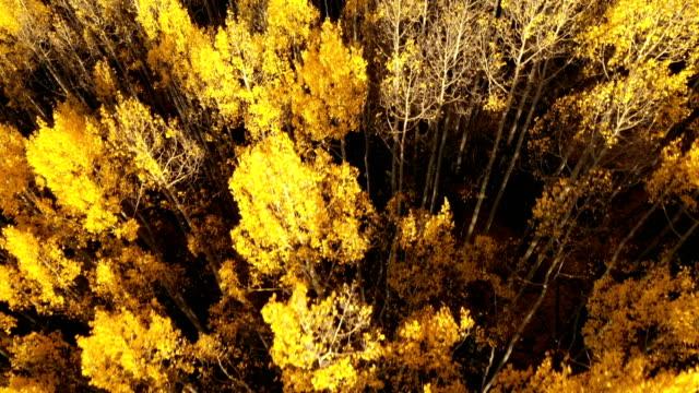 vídeos de stock, filmes e b-roll de aspens amarelos altos e brilhantes na floresta em colorado - condado de pitkin
