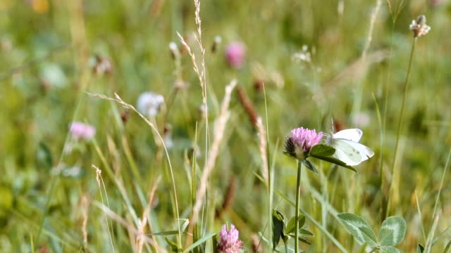 Tall clover flowers in summer meadow video
